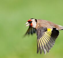 Goldfinch in flight by Margaret S Sweeny