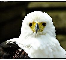 """"""" African fish Eagle"""" by mrcoradour"""