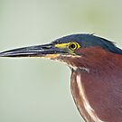 Green Heron Portrait  by Daniel  Parent