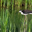 Black-Necked Stilt in Habitat by Michael Mill