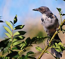 Portrait of a Western Scrub Jay by BluAlien