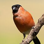 Bullfinch (male) by Margaret S Sweeny