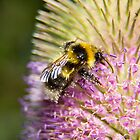 The teasel pollen bar is open by Sandra O'Connor