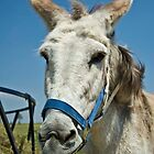 Lucy - PrimRose Donkey Sanctuary by Jeff Kitchen