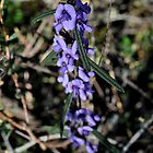 Hovea linearis by jeroenvanveen