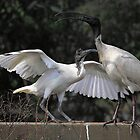 Australian White Ibis, South Australia  by Carole-Anne