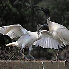 Australian White Ibis, South Australia  by Carole-Anne
