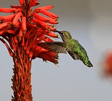 Hungry Hummingbird  by DARRIN ALDRIDGE