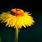 Sunset Daisy by vicjauron
