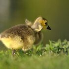 Gosling Discovering His Wings by vicjauron