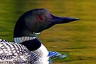 Loon closeup by Jim Cumming