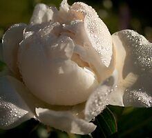 white peony and morning dew by Papandrea Photography