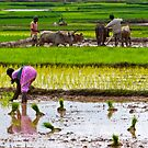 Paddy Farming-1/2011 by Mukesh Srivastava