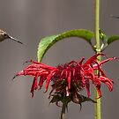 Rufous Hummingbird Territorial Dispute  by Chuck Gardner