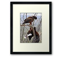 Harris's Hawks ~ Step down! Framed Print