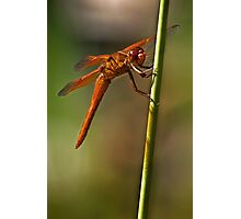 Smiling dragonfly Photographic Print