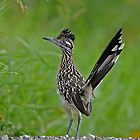 Roadrunner by photosbyjoe