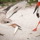 """Catch of the Day"" - mother feeds young black skimmer by John Hartung"