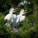 Young Great Egrets call out from nest by John Hartung