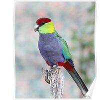 Red-capped Parrot Poster