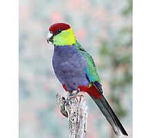 Red-capped Parrot Photographic Print