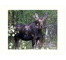 The young bull moose is back Art Print