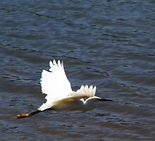 Snowy Egret in Flight by fototaker