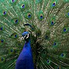 Pretty as a Peacock  by Mark Hughes