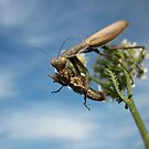 Praying Mantis Having Dinner by Istvan froghunter