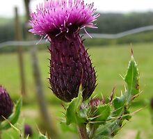 Scottish Thistle by Dawn (Paris) Gillies