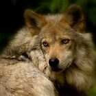 Portrait Of A Mexican Gray Wolf by Jeff Weymier