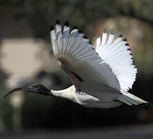 Australian White Ibis Flying, South Australia  by Carole-Anne