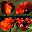 Orange Poppy Collage by Jonice