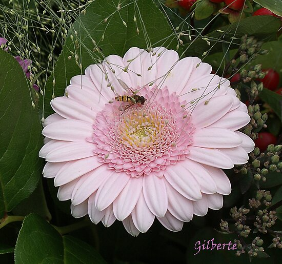 Gerbera Dinner by Gilberte