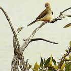 Dove by Julia Harwood