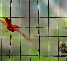 First Flying Lesson, Summer Tanagers by photosbyjoe