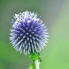 Globe Thistle (Echinops bannaticus) by Rod Johnson