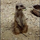Compare my pose - Meerkat by angelimagine