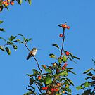 Female Ruby Throated Humming Bird Resting in a Crabapple Tree by Molly  Kinsey