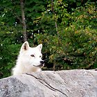 Arctic Wolf by Pierre Frigon