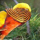 Golden Pheasant by basalt101