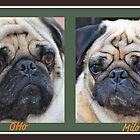 Pretty Great Looking Pugs! by Carol Clifford