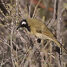 White-eared Honeyeater by Kerryn Ryan, Mosaic Avenues