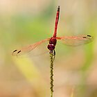 Red-veined Dropwing by Scott Carr