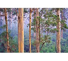 Misty Morning in the Karri Forest Photographic Print