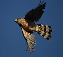 Sharp Skinned Hawk Turns In Flight by DARRIN ALDRIDGE
