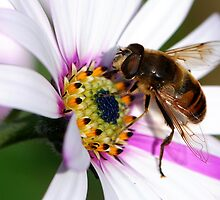 Hoverfly On Osteospermum. by John Morrison