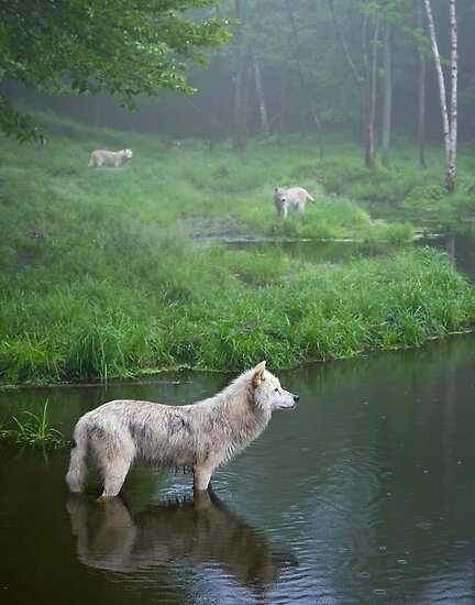 Three weary wolves by Daniel  Parent
