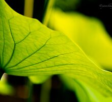 Lotus Leaf by Yannik Hay