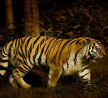 Amur Tiger by hampshirelady